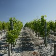 Stock Photo: Rows of vine stalks