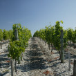Rows of vine stalks - Stock Photo
