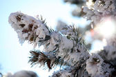 Snow on a pine branch — ストック写真
