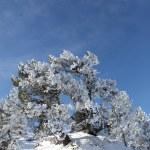Bush covered in snow — Stock Photo