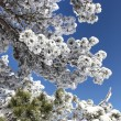 Stock Photo: Snow on trees
