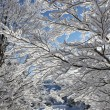 Snow covered branches - Stock Photo