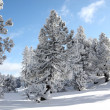 Beautiful snow covered trees — Stock Photo