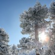 Snow covered trees in the sun - Stock Photo