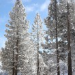 Fir trees covered in snow - Stock Photo