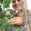 Wompicking plums — Stock Photo #18438031