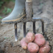 Stock Photo: Farmer digging for potatoes