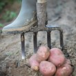 Farmer digging for potatoes - Stock Photo