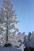 Snow laden tree — Stock Photo