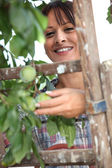 Woman picking plums — Stock Photo