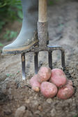 Farmer digging for potatoes — Stock Photo