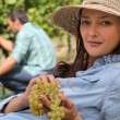 A woman wearing a straw hat is eating grapes behind a man harvesting grapes — Stock Photo
