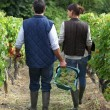 Farming couple in field picking grapes — Stock Photo