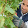 Stock Photo: Man pruning grape vine