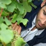 Man tending vines — Stock Photo #18475751