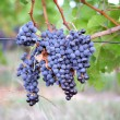 Stock Photo: Purple grapes on vine
