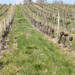 Photo of vineyard — Foto de Stock