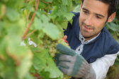 Man pruning grape vine — Stock Photo