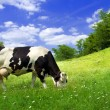 Cow on beautiful meadow — Stock Photo #11088758