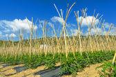 Tomato field — Stock Photo