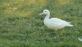 Pato branco pekin — Foto Stock
