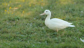 Pato pekín blanco — Foto de Stock