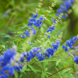 Blue flower closeup — Stock Photo