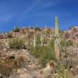 Stock Photo: Saguaro Cactus in the Hills near Scottsdale