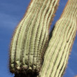 Saguaro Cactus Close Up - Stock Photo