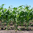 Stock Photo: Rows of Early Corn Crop