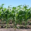 Rows of Early Corn Crop - Stock Photo