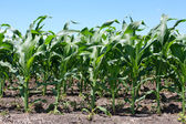 Rows of Early Corn Crop — Stock Photo
