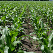Field of Early Corn Crop — Stock Photo