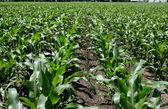 Field of Early Corn Crop — Stock Photo
