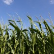 Close Up of Corn Crop — Stock Photo
