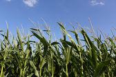 Close Up of Corn Crop — Stock Photo