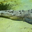 Resting Saltwater Crocodile — Stock Photo