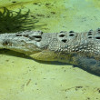 Resting Saltwater Crocodile — Stock Photo #35704029