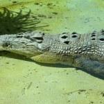 Resting Saltwater Crocodile — Stock Photo