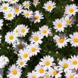 Patch of Daisies — Stock Photo