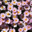 Patch of Pink Daisies — Stock Photo