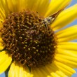 Macro of a Butterfly on a Sunflower — Foto de Stock