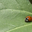 Macro of a LadyBug on a Leaf — Stock Photo