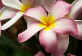 Pink Plumeria Flowers — Stock Photo