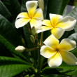 Yellow Plumeria Flowers — 图库照片