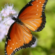Monarch Butterfly Wing — Stock Photo