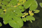 Patch of Lily Pads — Stock Photo