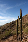 Cactus saguaro en las colinas cerca de phoenix — Foto de Stock