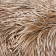 Stock Photo: Emu feathers up close