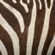 Zebra Fur Background — Stock Photo
